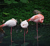 Pink flamingos in the shallows Royalty Free Stock Photography