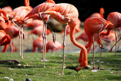 Pink flamingos. Sleep on one leg in the park Stock Photography