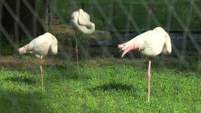 Pink flamingos sleep standing on one leg. stock footage