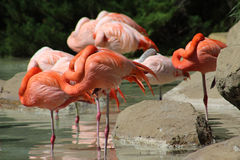 Pink Flamingos Sleeping Royalty Free Stock Photo
