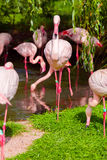 Pink flamingos stand in the water and on land among green grass. Stock Image