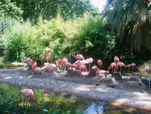 Pink flamingos. Standing in a pond Royalty Free Stock Photography