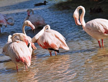 Pink flamingos Royalty Free Stock Photo