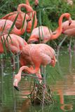 Flamingos. Pink flamingos standing in a pond in the middle of vegetation royalty free stock photos