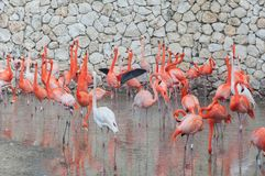 Pink flamingos standing in water Stock Images