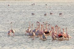 Pink flamingos stretching their long necks in the middle of the Larnaca salt lake. Cyprus stock image