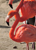 Pink flamingos in the sun Stock Photo