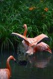 Pink flamingos sunning royalty free stock photo