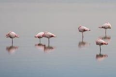 Pink flamingos on swamp background Royalty Free Stock Image