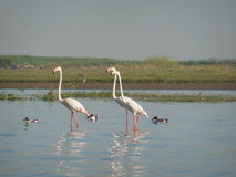 Pink Flamingos Triad. Pink Flamingos on their way to explore the waters Royalty Free Stock Photography