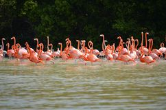 Pink flamingos Stock Photography