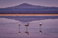 Pink flamingos wading in Atacama Park, Chile royalty free stock image