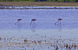 Pink Flamingos wading through a Camargue lagoon Stock Photos
