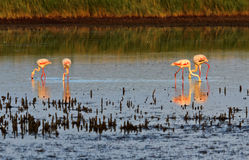 Pink Flamingos wading through a Camargue lagoon Stock Images