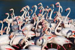 Pink flamingos walking Stock Photos