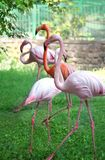 Pink flamingos walking in the garden. royalty free stock photos
