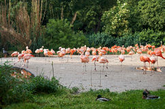 Pink flamingos walking near. The forest Stock Image