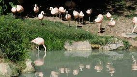 Pink flamingos walking pond. Pink flamingos walking in the pond stock footage
