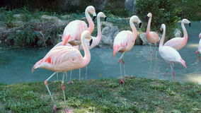 Pink flamingos walking pond. Pink flamingos walking in the pond stock video footage