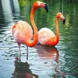 Pink flamingos walking in the water with reflections Stock Photography