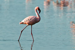 Pink flamingos walks on water Royalty Free Stock Photography