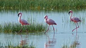 Pink flamingos walks on the water Royalty Free Stock Photo