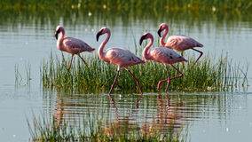 Pink flamingos walks on the water Stock Image