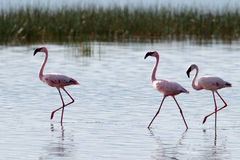 Pink flamingos walks on the water Stock Images