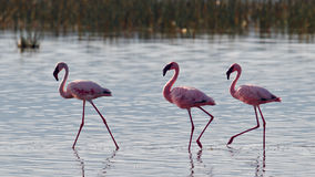 Pink flamingos walks on the water Royalty Free Stock Photos