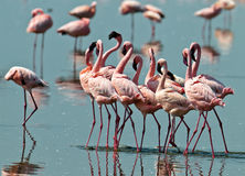 Pink flamingos walks on the water Stock Photography