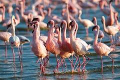 Pink flamingos walks on the water Stock Photo