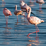 Pink flamingos walks on the water Royalty Free Stock Image