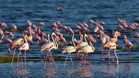 Pink flamingos walks on the water Royalty Free Stock Photography