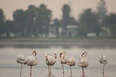 Pink flamingos. Walvis Bay lagoon Royalty Free Stock Photo