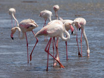 Pink flamingos in Walvis Bay Stock Images