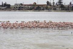 Pink flamingos in Walvis Bay, Namibia Stock Images