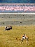 Pink flamingos, wart hog and Thompson gazelle royalty free stock photos