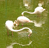 Pink flamingos in the water Royalty Free Stock Photos