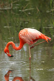 Pink Flamingos in water 3 Royalty Free Stock Photo