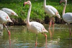 Pink flamingos Stock Image