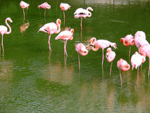Pink flamingos on water Stock Images