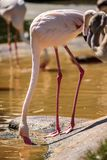 Pink flamingos by the water Stock Photography