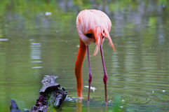 Pink flamingos in the water Royalty Free Stock Image