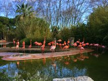 Pink flamingos in a water lake in a spring park wildlife. Nature pink flamingos in a water lake in a spring park wildlife concept flora and fauna Stock Photo