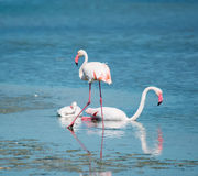 Pink flamingos on the water Stock Images