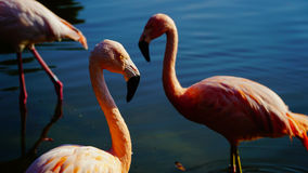pink flamingos in a water pond Stock Images