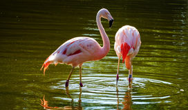 Pink flamingos in a water pond Royalty Free Stock Photo