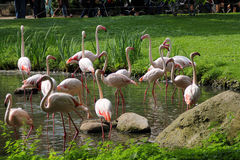 The pink flamingos on a water reservoir Royalty Free Stock Images