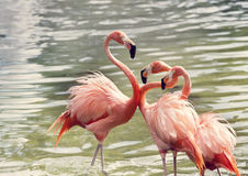 Pink Flamingos in the water Royalty Free Stock Images