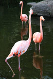 Pink Flamingos in water. Third wheel. Royalty Free Stock Photos